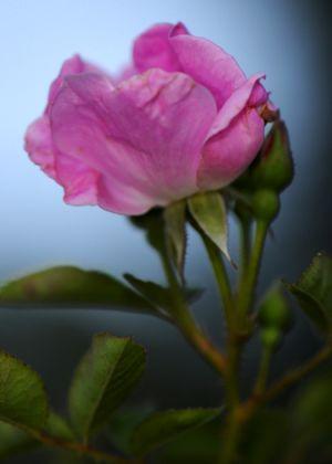 Pink_rose_sm1