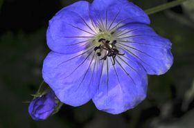 Blue_geranium_sm_1