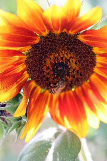 Orange sunflower and honeybeers