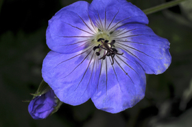 Blue_geranium_sm_3