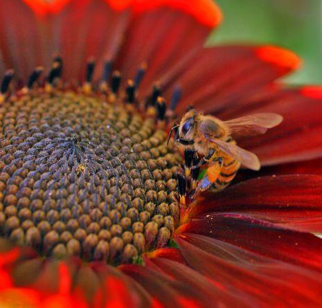 Honeybee with pollen baskets,rrs