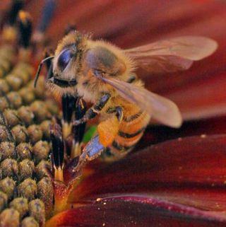 Honeybee with pollen baskets.rs