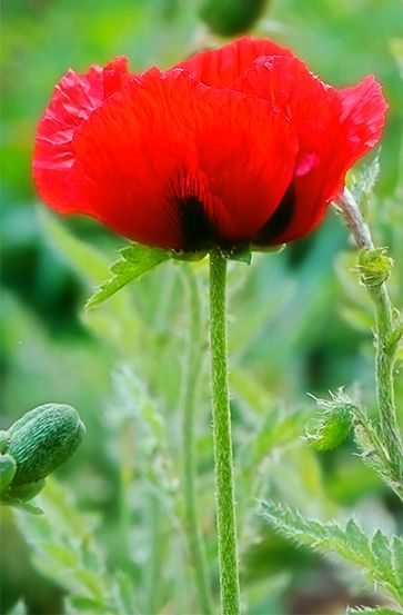 Poppies.rs