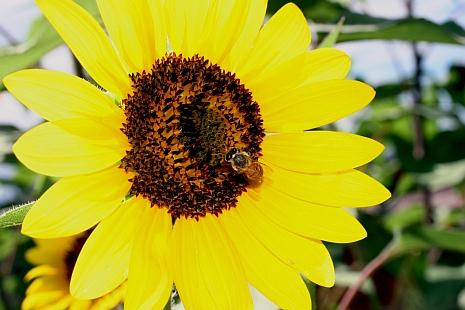 Yellow_sunflower_and_honeybee.rs