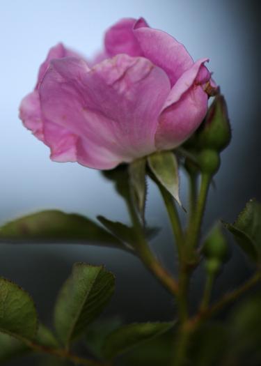 Pink_rose_sm