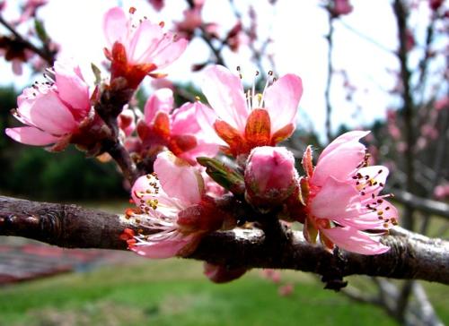 Peach Blossompm