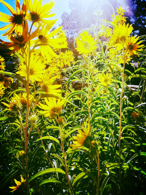Maximillionsunflowers