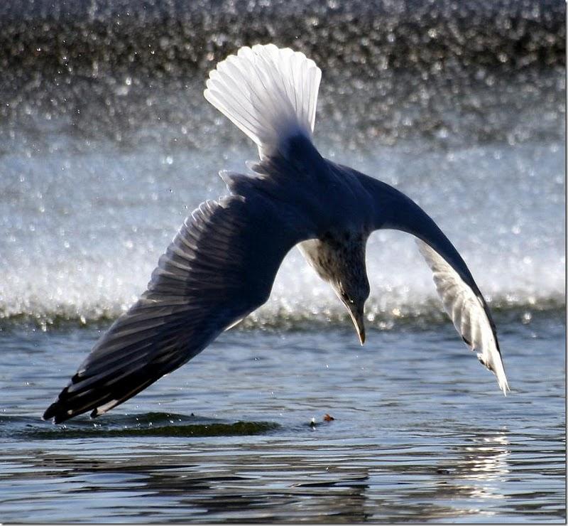 Bird Dive[1]